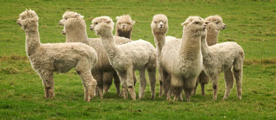 Alpacas looking in all directions - Photograph by Rob Wareman