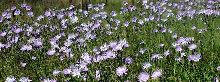 Chicory flowering
